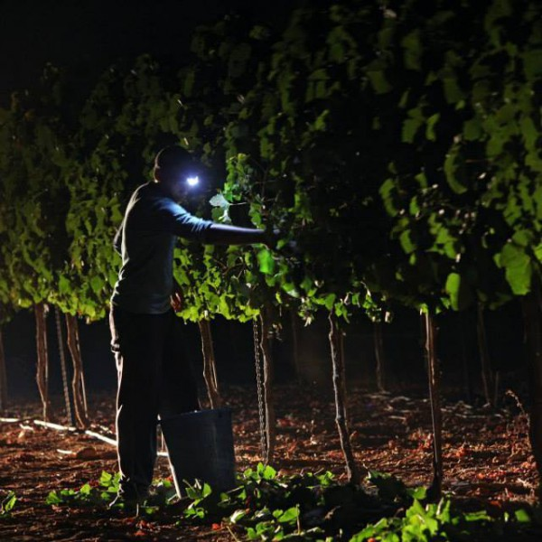 Night picking in the Judean Hills
