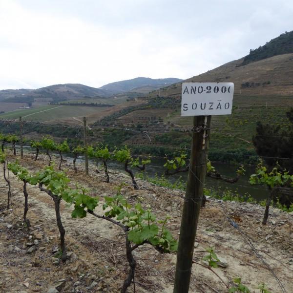 Sousao vines at Quinta dos Malvedos