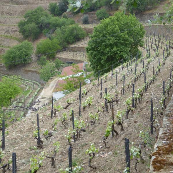 The Nacional Vineyard