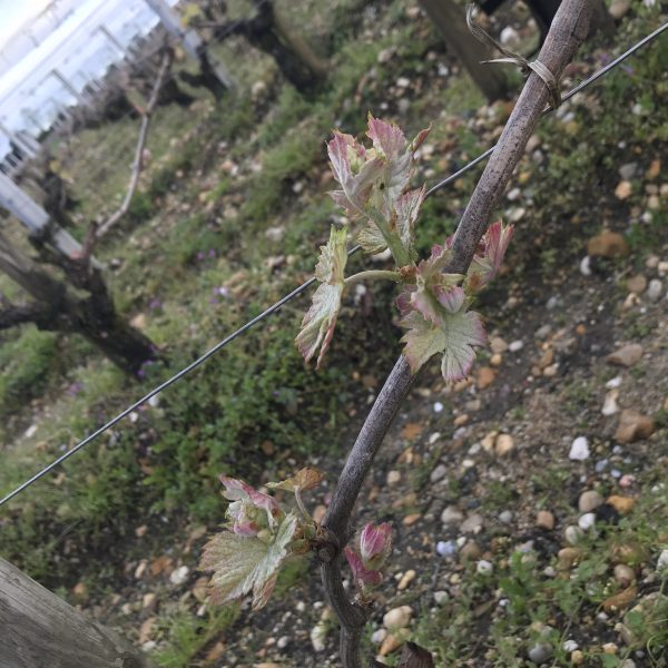 Late buds emerging at Haut-Brion