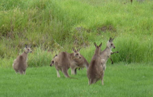 The locals 'chewing the cud' in the Hunter Valley.