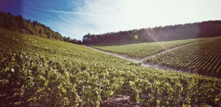 The vineyards of Chablis