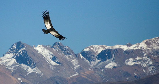 A condor flying over the Andes